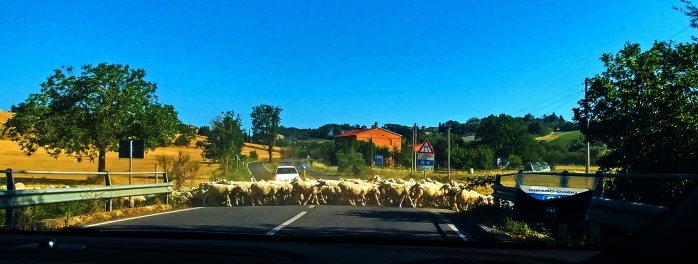 Sheep Crossing in Tuscany, Italy, Montepulciano, Tuscany